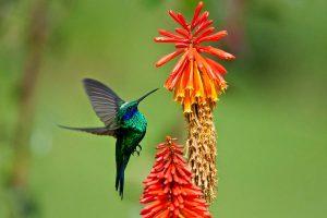 colibri-coruscans-photo-by-priscilla-burcher
